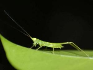 imteaz_bengalansis_1315463459_1-wallpaper-grasshopper-1