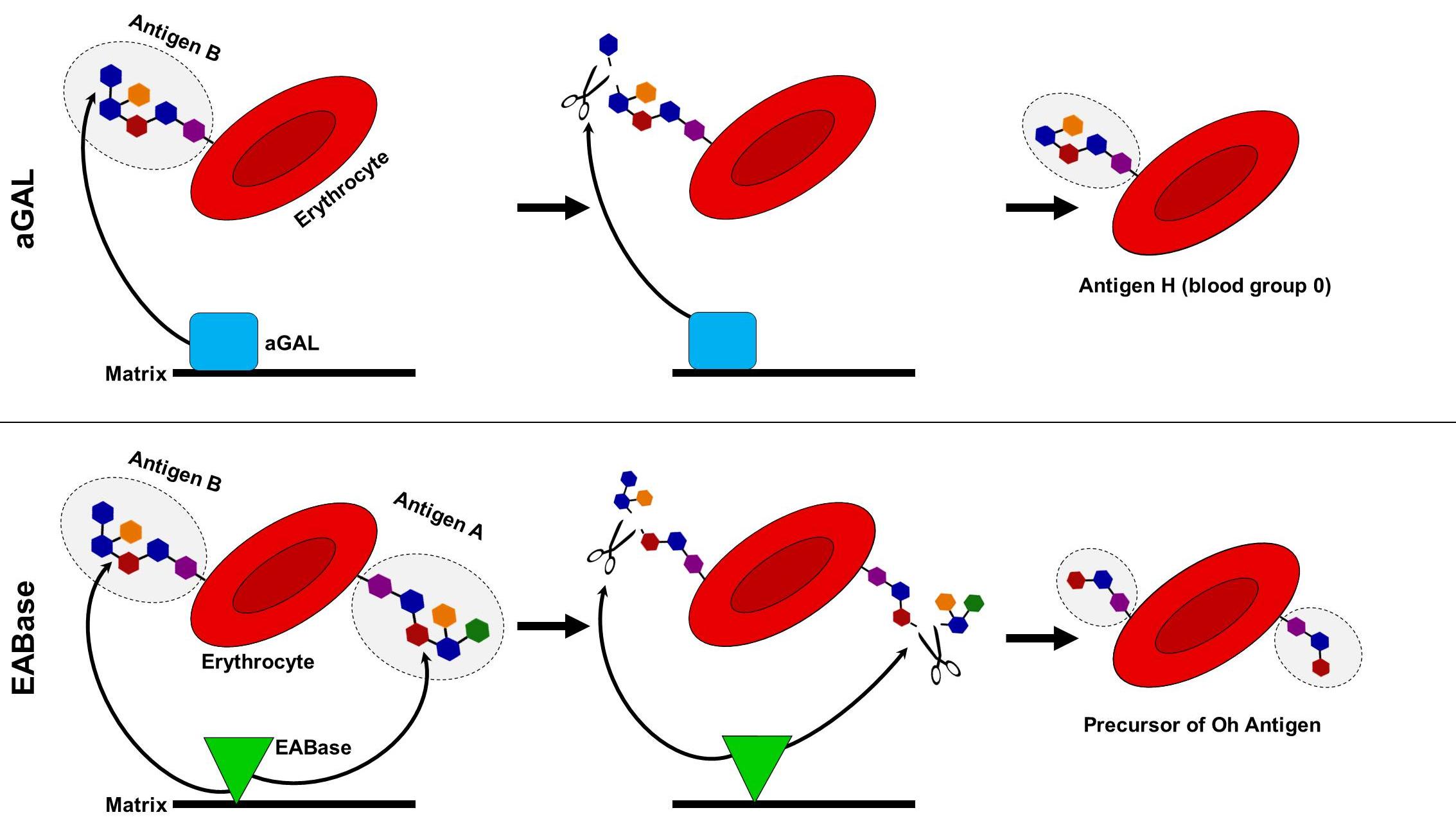 অতিবিরল বোম্বাই রক্তের গ্রুপ বা h/h গ্রুপ
