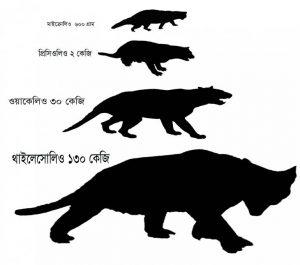 বিভিন্ন প্রজাতির সিংহের সাথে মাইক্রোলিওর আকারের অনুপাত