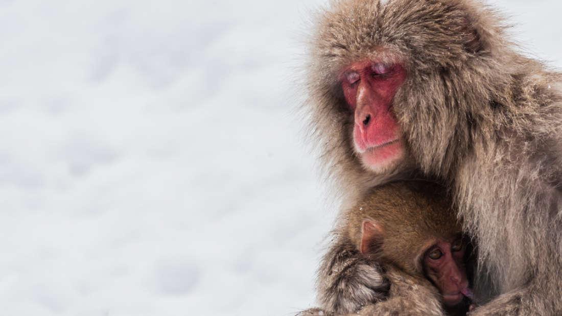 'বহিরাগত প্রজাতির' মিশ্রিত জিন বহন করায় জাপানে ৫৭ টি বানর নিধন