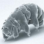 626px-SEM_image_of_Milnesium_tardigradum